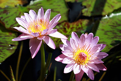 pink waterlilies (gemini*jen) Tags: park pink flowers autumn two green nature water yellow canon garden gold petals pond waterlily harbour pair sydney coastal 2008 sydneyharbour royalbotanicgardens canoneos400d