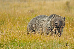 Yellowstone Grizzly - 7201bsg2 (teagden) Tags: bear park autumn fall photography wildlife explore national yellowstonenationalpark yellowstone grizzly ynp 2010 grizz grizzlybear yellowstonepark wildlifephotography jenniferhall
