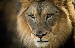 Face 2 Face (larry fa) Tags: morning animal nikon lion 300mm sunlit d800 cincinnatizoo challengegamewinner