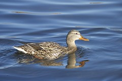 (DJM75) Tags: blue brown nature water animals spring ducks mallard chicagobotanicgarden