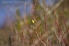 "Orange-crowned Warbler • <a style=""font-size:0.8em;"" href=""http://www.flickr.com/photos/63501323@N07/13894904537/"" target=""_blank"">View on Flickr</a>"