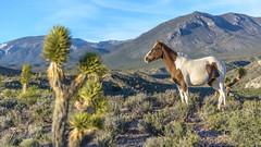 Wild horse standing (Francisca Vega Weber) Tags: spring nevada mojavedesert wildhorse pahrump nyecounty nikond5200 nikkor50mm118g