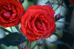 Red Rose (tonny.froyen) Tags: flowers flores flower macro fleur beautiful rose fleurs garden botanical petals pretty blumen petal stunning bloom blooms fiori blomst blomster molde picoftheday floweroftheday flowermagic flowerslovers rbnett flowerstagram flowersofinstagram