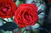 Red Rose (tonny.froyen) Tags: flowers flores flower macro fleur beautiful rose fleurs garden botanical petals pretty blumen petal stunning bloom blooms fiori blomst blomster molde picoftheday floweroftheday flowermagic flowerslovers rbnett flowerstagram flowersofinstagram
