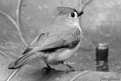Tufted Titmouse (--Anne--) Tags: nature birds wildlife titmouse