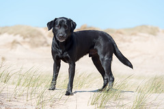 FAN_9033.jpg (Flemming Andersen) Tags: black dogs water animal denmark seaside spring labrador outdoor hund dk hurup lodbjerg northdenmarkregion bedstedthy helligsvej hebojebi