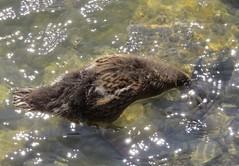 IMG_0207 (rachelaughs) Tags: water canal duck duckling mallard waterfowl eriecanal mallardduck babyduck pittsfordny mallardduckling babymallardduck