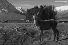 Female red deer Scottish Highlands (Wend's photography) Tags: uk red mountain mountains nature monochrome animal rural landscape photography mono scotland blackwhite scenery britain scottish deer alpine moors moorland