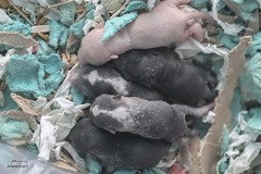 Mini newborn (arlete soed) Tags: pet familia mouse newborn rato rosados recemnascido