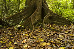 Mis soportes_MG_3602 (Edu de la Forêt) Tags: tree root arbre baum forêt racine buttress amazonia amazonie soutien contrefort brettwurzel amazonaswald