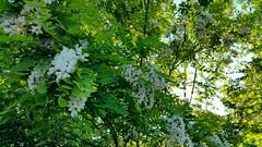 Spring (Scorpion-66) Tags: fiori springtime prim frittelle fiorediacacia samsungnote4