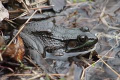 Frog (historygradguy (jobhunting)) Tags: ny newyork water animal amphibian upstate frog easton washingtoncounty