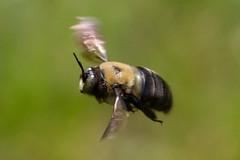 carpenter-bee-3 (Scott Alan McClurg) Tags: life wild motion blur nature animal bug insect fly flying wildlife flight bee motionblur bumble flapping flap pest arthropoda carpenter naturephotography hymenoptera insecta apocrita apoidea apidae xylocopinae xylocopa animala xylocopini
