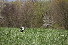 Mai (blumenbiene) Tags: dog white playing black game dogs female walking fun weide meadow wiese hund schwarz dalmatian hunde spaziergang spielen dalmatiner weis hndin
