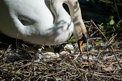 All present and correct (Philip McErlean) Tags: ireland irish birds garden swan nest eggs kildare nationalstud stfiachra