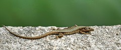 Common wall lizard  Podarcis muralis (MJWoerner49) Tags: mobile moving reptile busy swift zippy quick rapid clever active adept lively urbane brisk movable skillful reptil nimble agile supple reptilian skilled lithe lissome lissom dexterous flink buoyant skilful manoeuvrable maneuverable tractable