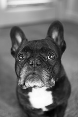 Sad Face (Lainey1) Tags: bw dog monochrome 35mm lens fuji sad oz bulldog frenchie frenchbulldog fujifilm f2 fujinon ozzy wr sadface the frogdog lainey1 xt10 zendog elainedudzinski ozzythefrenchie fujixt10 fuji35mmf2wrlens fujigal