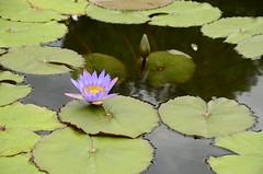 Lotus Blossom (RadarRange) Tags: lotus asheville biltmore
