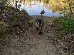 Run away! ((Jessica)) Tags: baby bird nature birds geese scary wildlife massachusetts newengland goose goslings angry gosling woburn hornpond