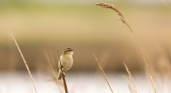 Sedge Warbler (142/366) (AdaMoorePhotography) Tags: uk wild england bird reed nature animal reeds spring nikon natural wildlife gb marsh essex warbler marshes sedge rainham 366 sedgewarbler 200500mm rainhammarshes d7200