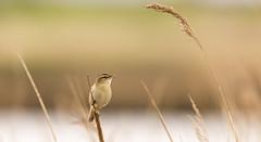 Sedge Warbler (142/366) (AdaMoorePhotography) Tags: uk wild england bird reed nature animal reeds spring nikon natural wildlife gb marsh essex warbler marshes sedge rainham 366 sedgewarbler 200500mm rainhammarshes d7200