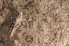 A sandy coloured Grasshopper on sand (Dave Montreuil) Tags: africa nature animal insect sand african south sandy east hidden camouflage malawi grasshopper coloured blending willdife