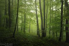 Tales of Spring (Emmanuel Dautriche) Tags: trees mist france green nature rain forest spring nikon franchecomt emmanuel d700 dautriche