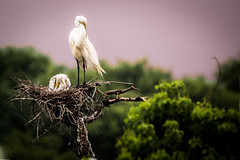 _80A0216 (cynaZZam photOGraphy) Tags: pink white galveston nature birds canon outdoors texas sanctuary avian spoonbills egrets highisland cynazzam