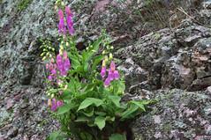 Estrmadure (Espagne) (PierreG_09) Tags: espaa fleur spain digitale flor espagne cceres spanien flore extremadura saltodelgitano parquenacionaldemonfrage estrmadure monfragu parcnationaldemonfrage