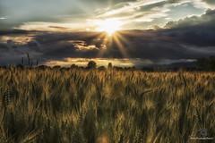 favola (mirkopizzaballa) Tags: sunset nikon tramonto sigma colori magico campi frumento coltivati sigma1750 nikond7200 cielocup
