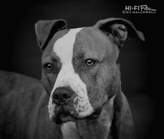 Not Love At First Sting (Hi-Fi Fotos) Tags: portrait blackandwhite bw dog pet animal mono nikon canine pitbull pup hatchi d5000 hallewell hififotos