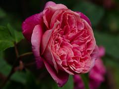 Rose (Sarah Anne Mac) Tags: pink colour floral fleur rose petals flowersarebeautiful