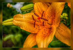 Pictures of Lily.... (scorpion (13)) Tags: plant flower color nature rain garden droplets lily blossom creative frame photoart