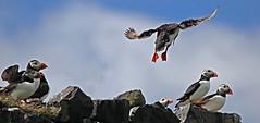 Coming in to land (Finding Chris) Tags: innerfarne farneislands puffins pufflings fish northumberland nationaltrust orange sandeels fishing blackheadedgulls gulls
