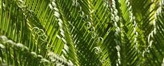 Crosses de Cycas (Pi-F) Tags: lumire vert provence cycas japon crosse palmier tige