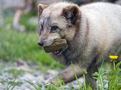 Polar fox with stone in the mouth (Tambako the Jaguar) Tags: male walking grass flowers stone mouth portrait polarfox fox white beige zoo dhlhlzli tierpark bern berne switzerland nikon d5