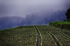 Beans Farm (habeebrahmanphotography) Tags: morning travel cloud india mist landscape photography landscapes beans nikon farm kerala bean agriculture munnar