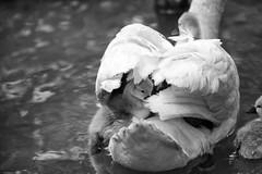 Hidden (Fairy_Nuff (new website - piczology.com!)) Tags: swan cygnet hidden dorset abbotsbury swannery