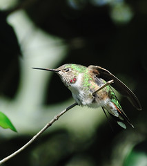 Broad Tailed Hummingbird (integralrootcosxdx) Tags: green bird nature us nikon tx nikkor hummer broad selasphorus broadtailedhummingbird selasphorusplatycercus platycercus