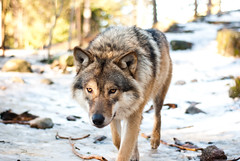 Wolf (Markus Konow) Tags: animal animals meerkat wolf wildlife tiger wolves surikat kolmrden djurpark