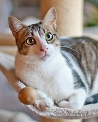 Bruno (No_Water) Tags: cat sweet tiger katze weiss bruno kissablekat bestofcats catmoments catnipaddicts memorycorner