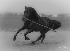Caballo B&N (juan j ruiz) Tags: caballo retofs1