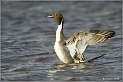 "Pintail Duck (20120319-5204) (Earl Reinink) Tags: ontario canada bird art nature birds photography landscapes duck nikon canadian niagara earl waterfowl bif ""bird ""nikon ""niagara photography"" ""birds ""nature ontario"" ""landscape ""fine duck"" ""earl peninsula"" flight"" lenses"" d3"" d3s"" reinink"" ""pintail"