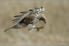 "Red-Tailed Hawk (20120313-0225) (Earl Reinink) Tags: ontario canada bird art nature birds photography landscapes nikon hawk flight canadian niagara earl bif ""bird ""nikon ""niagara photography"" ""birds ""nature ontario"" ""landscape ""fine ""earl peninsula"" flight"" lenses"" hawk"" ""redtailed d3"" ""hawk d3s"" reinink"""