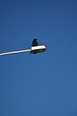 Black, white & blue (Fjola Dogg) Tags: blue sky white black bird canon iceland islandia minimalism raven fugl sland 2012 hrafn hvtur krummi 50d blr canon50d svartur ljsastaur fjoladogg fjladgg
