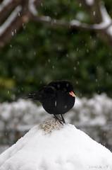 black & white (biro46 OFF) Tags: uccelli neve bianco nero merlo fiocchi