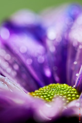The center (Kasia Sokulska (KasiaBasic)) Tags: flower macro dew daisy esenciadelanaturaleza
