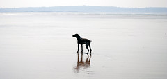 It's My Beach (Peaf79) Tags: bert devon gsp germanshorthairpointer northdevon funinthesun mybeach sauntonsands