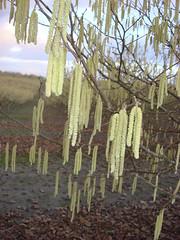 3252 filbert pollen (growing hazelnuts) Tags: filbert orchards