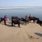 "Cows with Photographer and Bather, Ganges <a style=""margin-left:10px; font-size:0.8em;"" href=""http://www.flickr.com/photos/14315427@N00/6880381727/"" target=""_blank"">@flickr</a>"